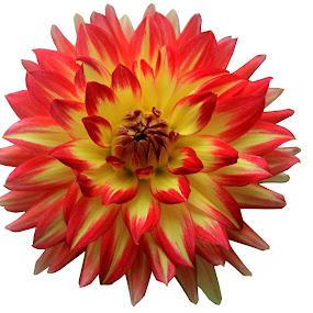 Dalia by Sunil Pawar - Flowers Single Flower ( dalia, close up flower, close up, dahlia, flower,  )
