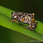 Ivory Coast Running Frog