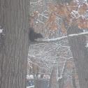 Black Eastern Gray Squirrel