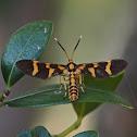 Arctiinae Moth