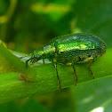 Metallic Green Leaf Beetle