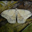 Lonomia moth
