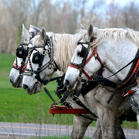 Three horses by Priscilla Capelle-Haehn - Animals Horses ( mammals, farm work, plowing, horses, harness, three abreast, grey )