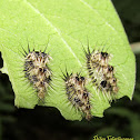 Spotted tortoise beetle larvae