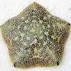 New Guinea cushion seastar