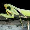 Giant Asian White-marked Mantis