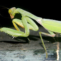 Giant Asian White-marked Mantis