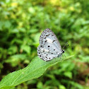 Malabar Common Hedge Blue