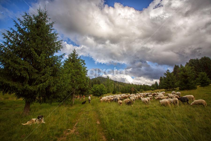A flock of sheep by Stanislav Horacek - Landscapes Prairies, Meadows & Fields
