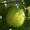 Wild Cucumber (Manroot)