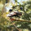 Tachina Fly.