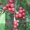 Autumn Olive Berry