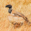 Vulture - African White-backed Vulture