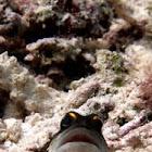 Gold specs jawfish