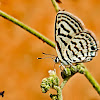 Little Tiger Blue Butterfly