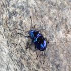 Chinese Chrysochus Leaf Beetle