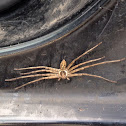 Huntsman spider (Giant Crab spider)