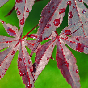 Maple in the rain 2 by Skye Stevens - Nature Up Close Leaves & Grasses (  )