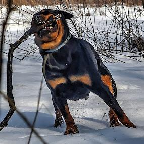 by Tomo Egredžija - Animals - Dogs Playing