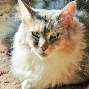 Green Eyed Beauty by Annette Long-Soller - Animals - Cats Portraits ( green eyed, nature up close, portrait, animal, mainecoon )