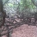 Worlds biggest cashew tree