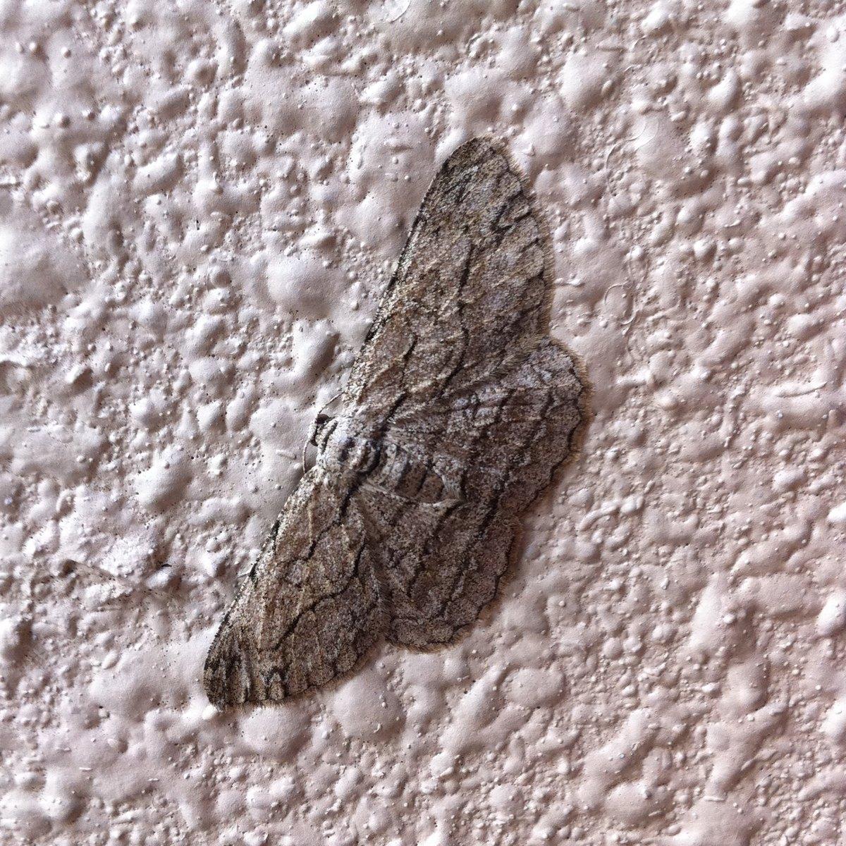 Gray Looper Moth?