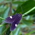 Aclytia heber (Male)