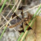 Eastern Amberwing (female)