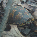 Young eastern box turtle