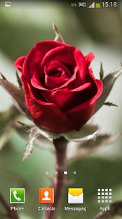 Růže Živé Tapety - náhled