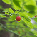 Red Huckleberry Plant