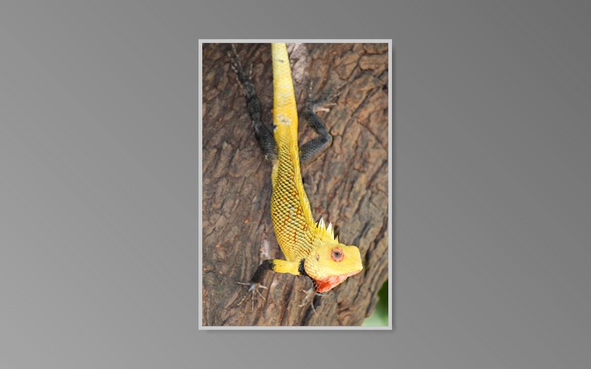 Indian Garden Lizard
