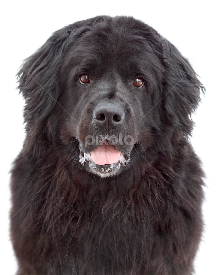 Kiti by Mia Ikonen - Animals - Dogs Portraits ( newfoundland, gentle, female, finland, big,  )
