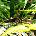 Bronze- back snake