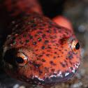 Northern Red Salamander