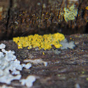 Elfin Candleflame Lichen