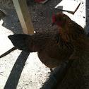 Americuana chicken