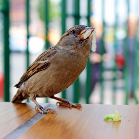 Sparrow by Daniel MV - Animals Birds ( fly, food, colors, birds, sparrow,  )