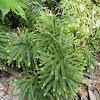 Flat Branch Ground Pine