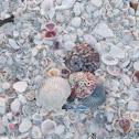 scalop seashell