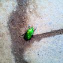 Flower scarabs/Flower chafers
