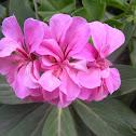 Geranium (pink)