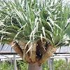 Draco palm tree