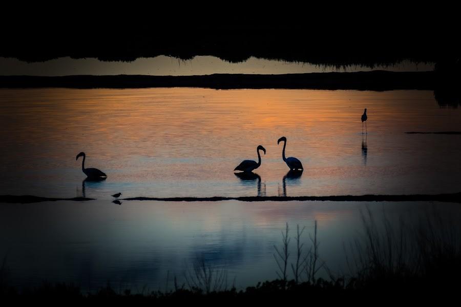 Flamingos at Twilight by Marco Tavares - Landscapes Sunsets & Sunrises ( sunset, twilight, algarve, flamingos, ria formosa )