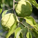Osage Orange Tree - Hedgeapple