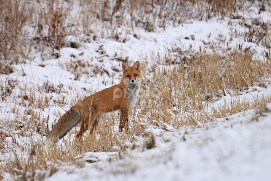 Big redfox by Elisabeth Johansson - Animals Other ( sweden, winter, red, fox, norrland, snow, morning,  )