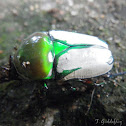Regal fruit chafer
