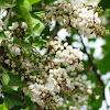 करंज  Pongam Oiltree