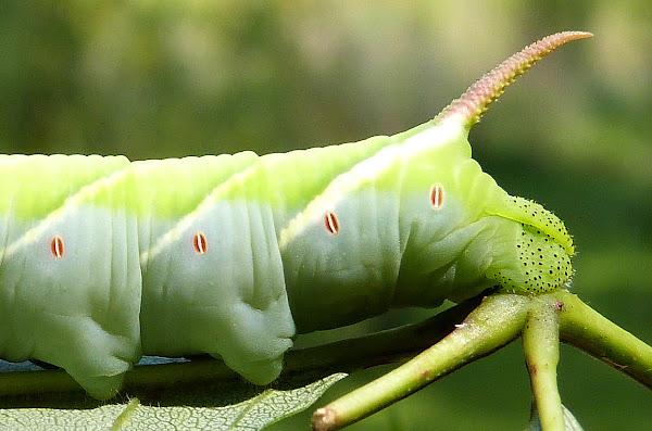 Waved Sphinx Moth Caterpillar Project Noah