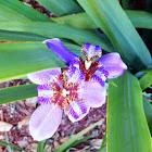 Apostle iris